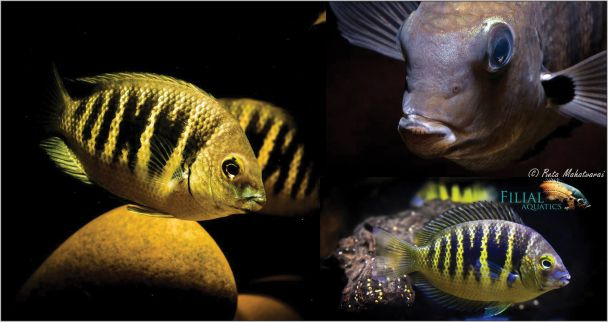Cichlid Of India