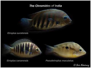 Cichlid Of India Creature Companions Magazine