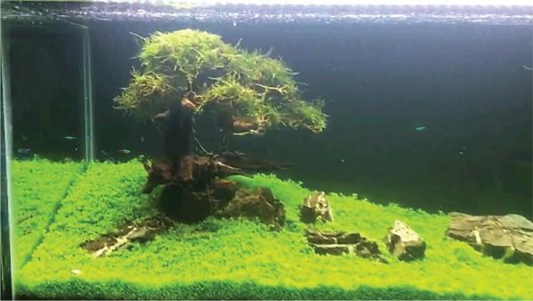 Tissue Cultured Plant In Aquariums