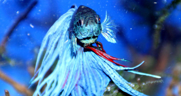 The Basics Of Betta Fish Keeping