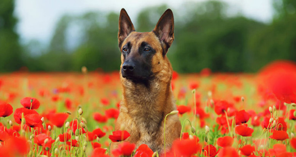 The Belgian Malinois: Can Make A Fantastic Pet Too
