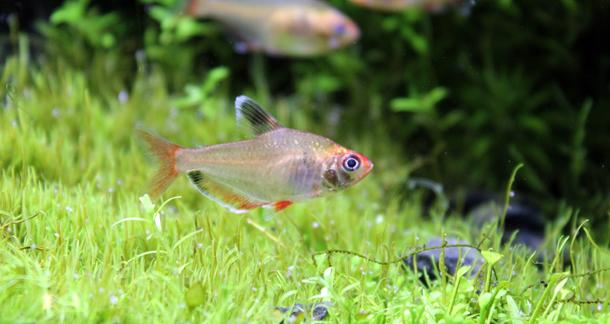 Serpae Tetra (Hyphessobrycon eques)