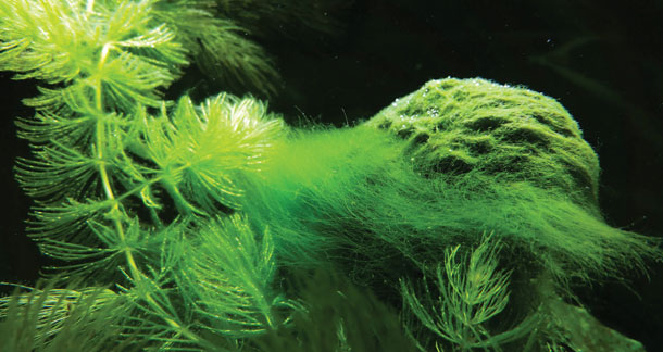 Algae In Aquarium – Prevention And Treatment