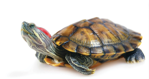 The Red Eared Slider Care Guide